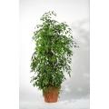 Ficus Benjamini, Multistamm, Terra.-topf rund, 1,80m-2,00m