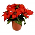 Weihnachtsstern, Euphorbia / Poinsettia ca. 20cm Pflanze in div. Farben