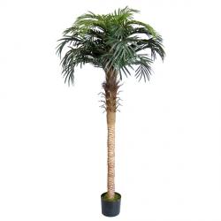 Phönix Palme 250 cm